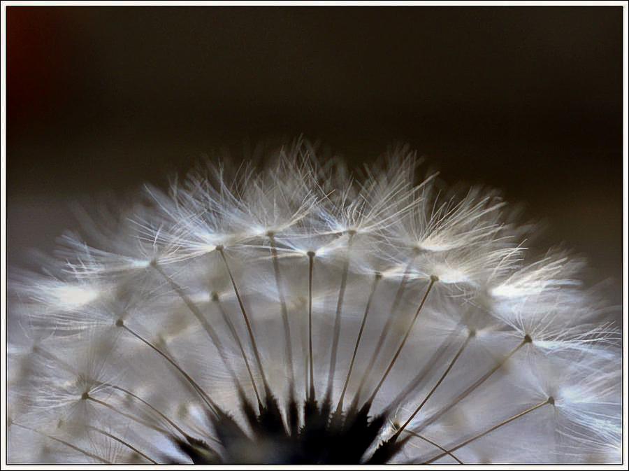 Fleur paon1