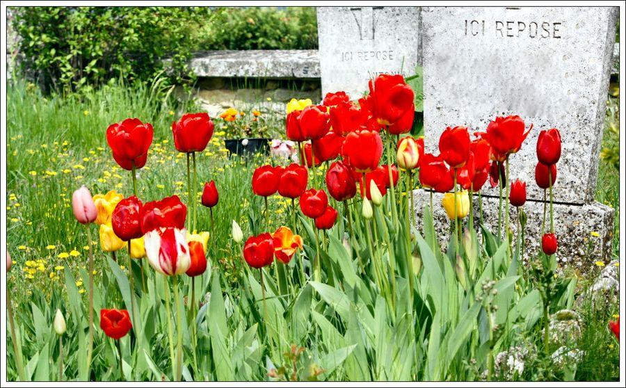 Tulipes blg