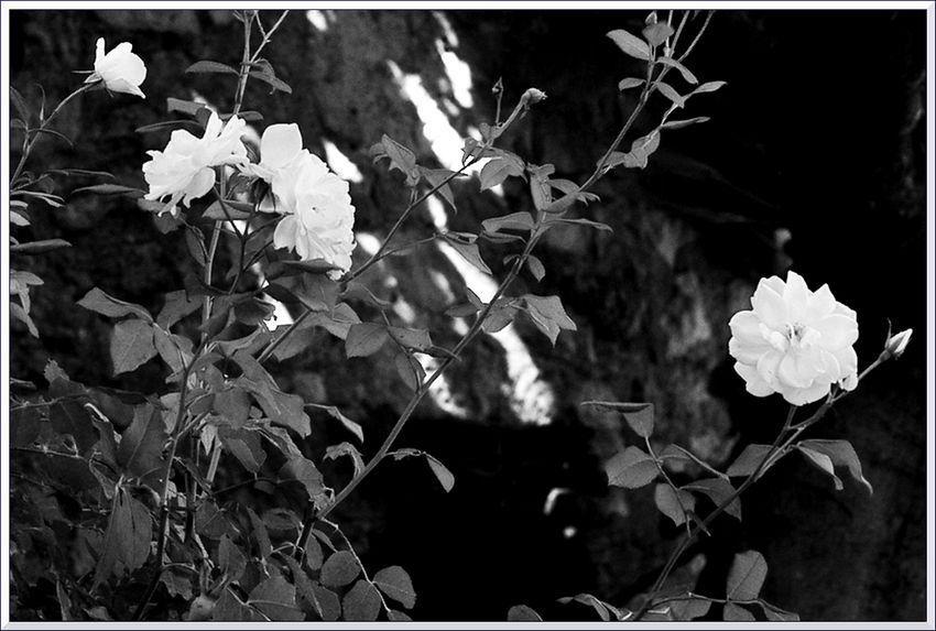 HB J5 roses-3 blg