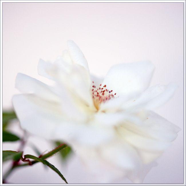 Petites roses sony-6 blg