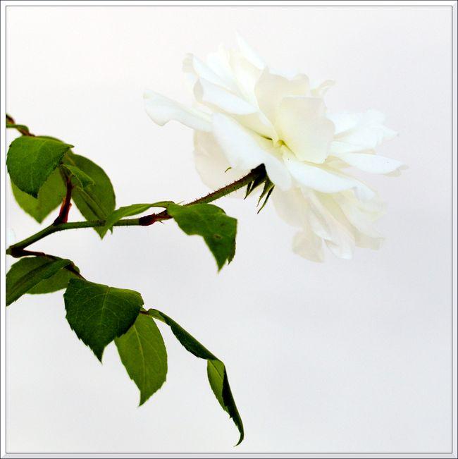 Petites roses leica-10 blg