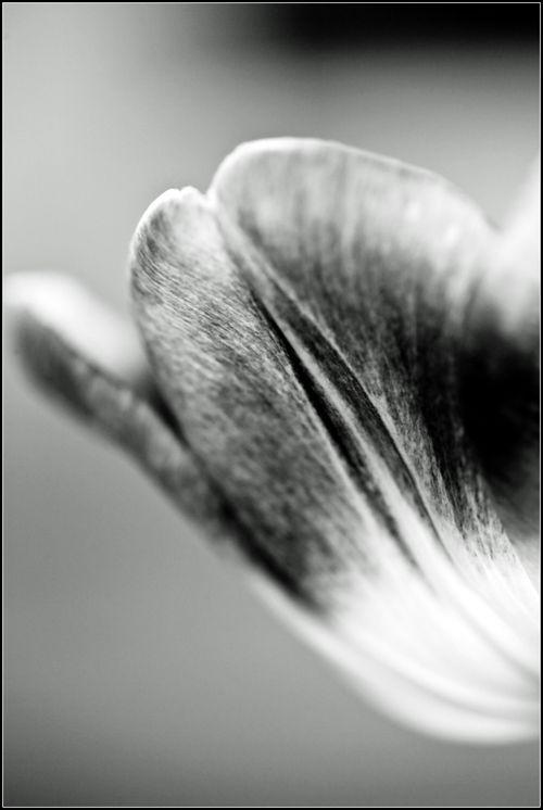 Tulipes macro 04 14_-25