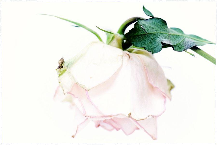 Roses fanées lr 2-6 x