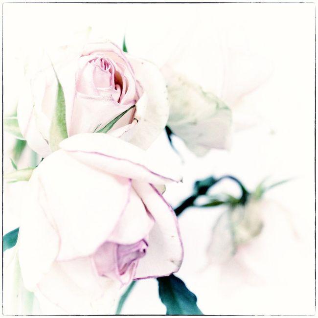 Roses fanées lr 2-9 - copie 2 x