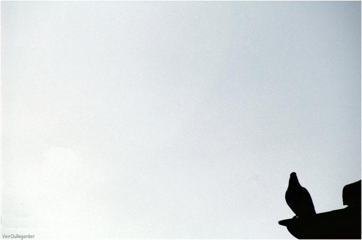 Pigeon_b_vog_1
