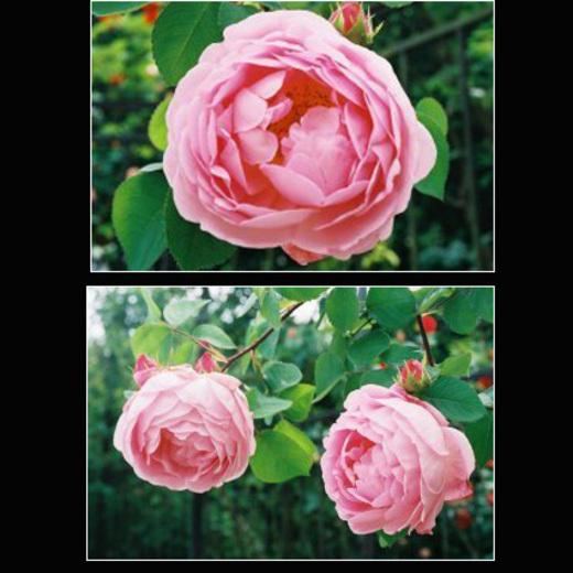Roses_roses_2